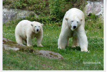 Hallo Du! - Eisbärinnen Charlotte und Vera in der grünen Wiese