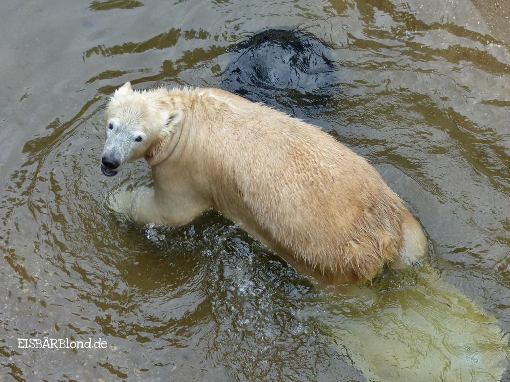 Die Wanne ist voll - Eisbär CHARLOTTE - Tiergarten Nürnberg - 16.09.2016 - 3