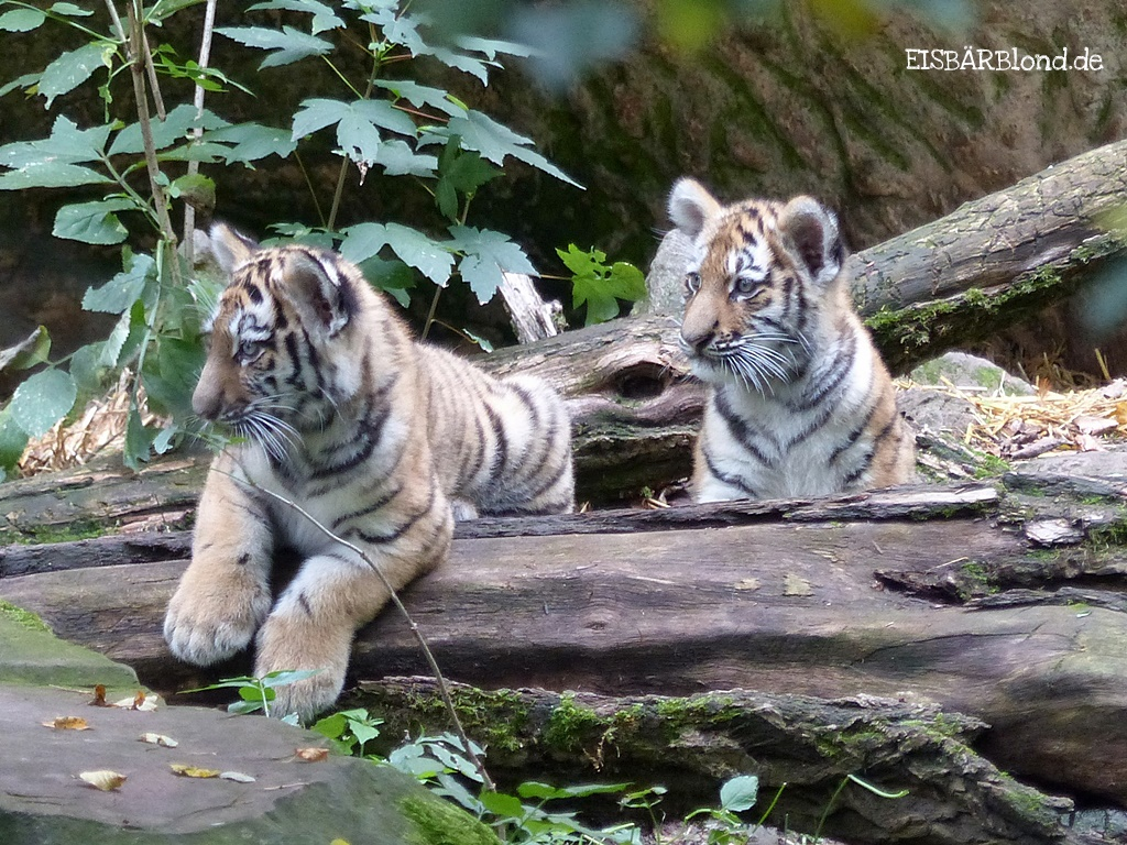 Tigerbuben ALJOSCHA und VOLODYA - Tiergarten Nürnberg - 24.09.2015