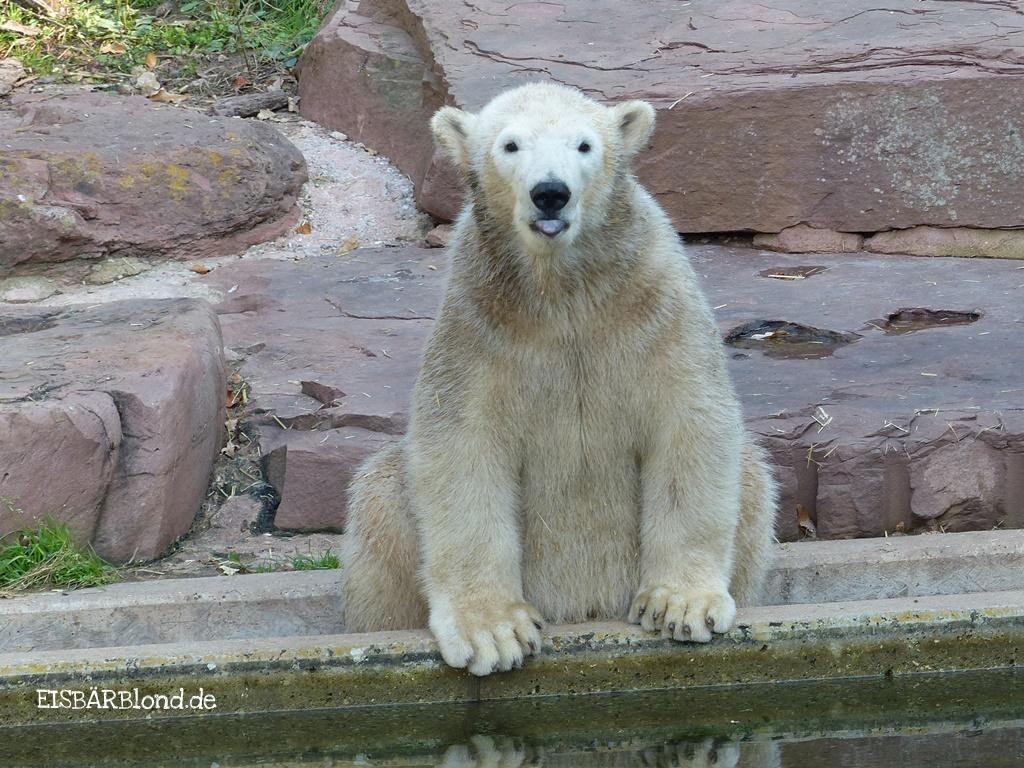 Manchmal muss man motzen! - Eisbär CHARLOTTE - Tiergarten Nürnberg - 13.10.2015