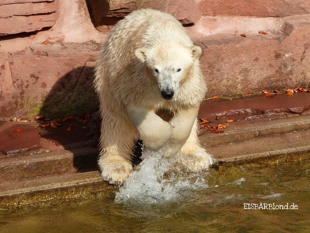 Eisbärin Charlottchen ist nicht zu bremsen - Tiergarten Nürnberg