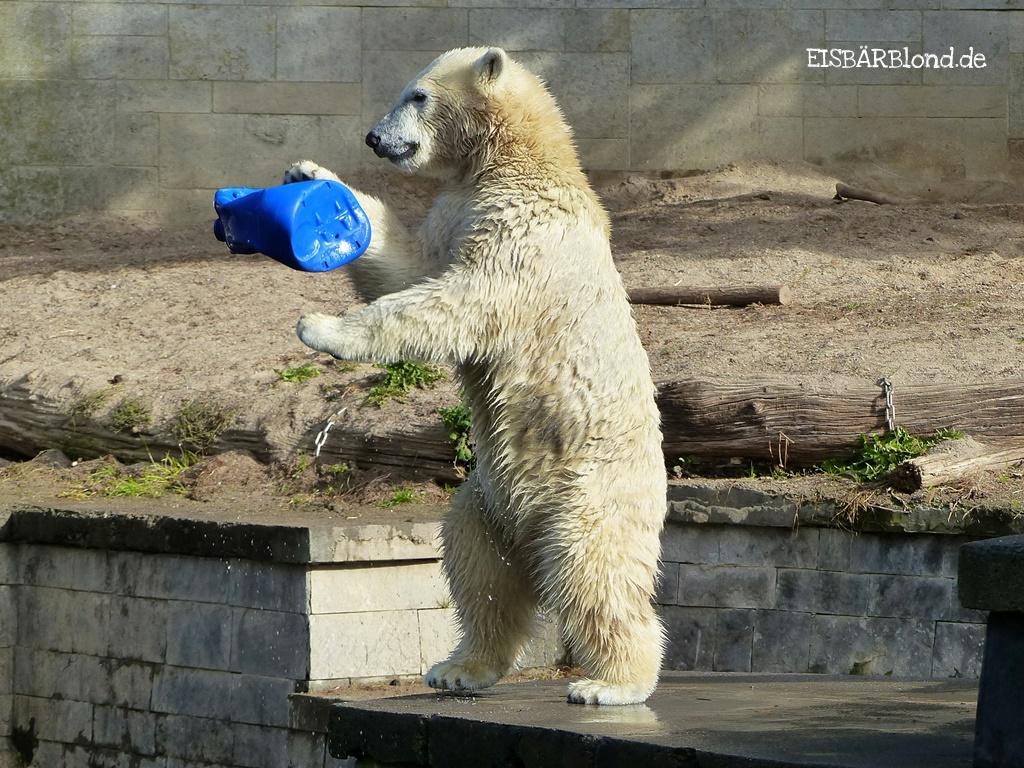 Bei den Rostocker Eisbären - Eisbär FIETE - Zoo Rostock - 29.09.2015