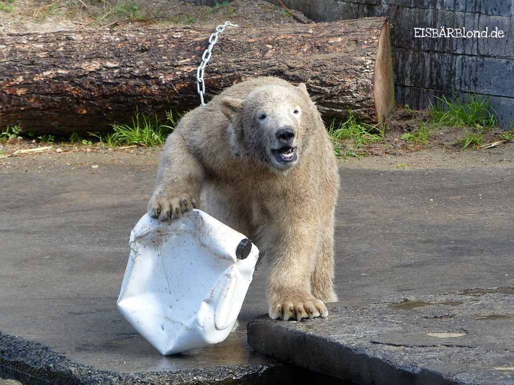 Bei den Rostocker Eisbären - Eisbär FIETE - Zoo Rostock - 30.09.2015