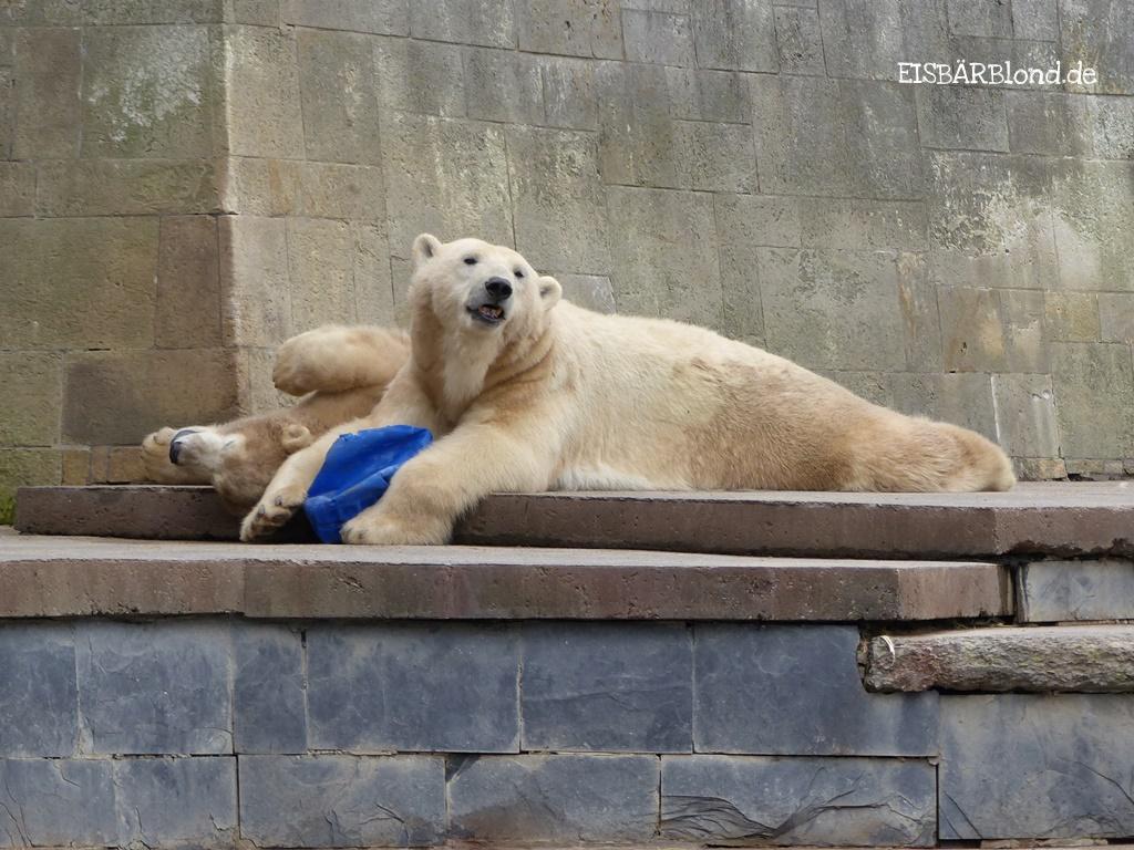 Bei den Rostocker Eisbären - Eisbär VILMA + Eisbär FIETE - Zoo Rostock - 29.09.2015 - 2