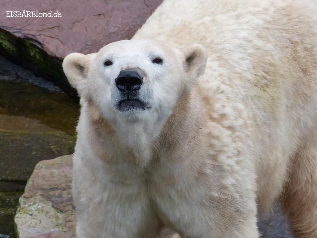 Warten auf die Feiersäckchen - Eisbär VERA - Tiergarten Nürnberg -23.11.2015