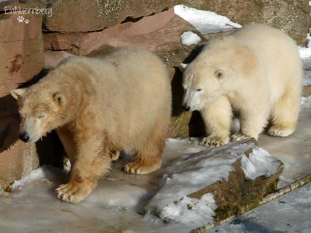 Flocke & Co. - Eisbären.und.mehr - Eisbär Flocke und Eisbär Rasputin im Tiergarten Nürnberg - 01/2009