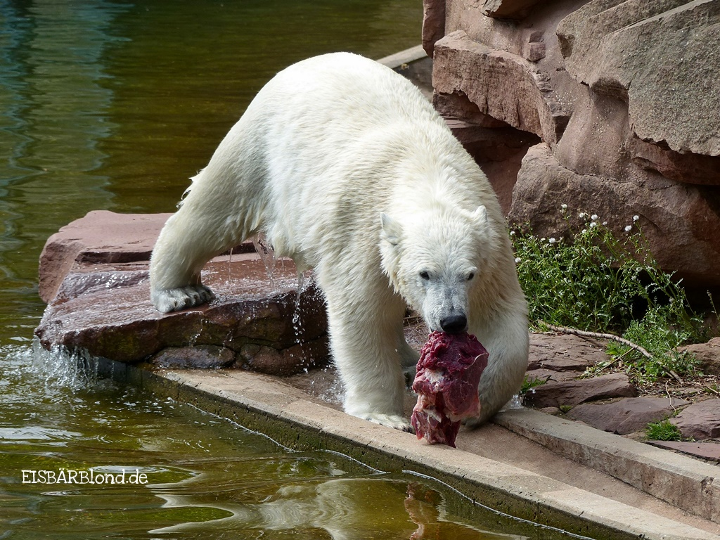 Relegations-Stärkung mit Eisbär Charlotte aus dem Tiergarten Nürnberg