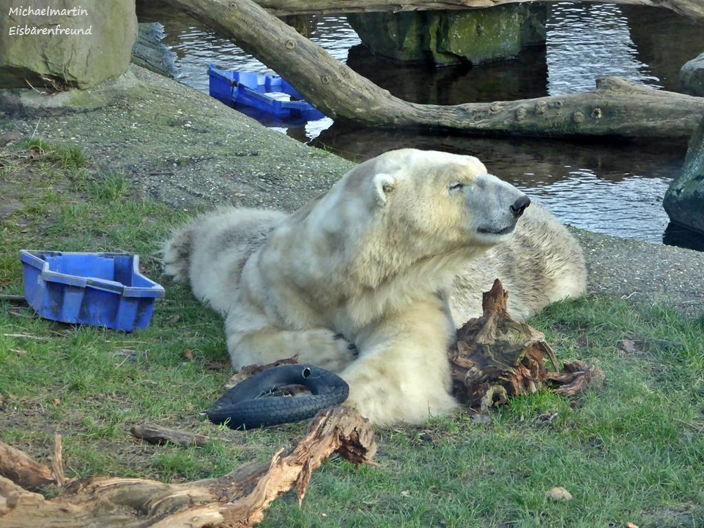 Eisbär FELIX - 23.12.2015 - Ouwehands Tierpark Rhenen