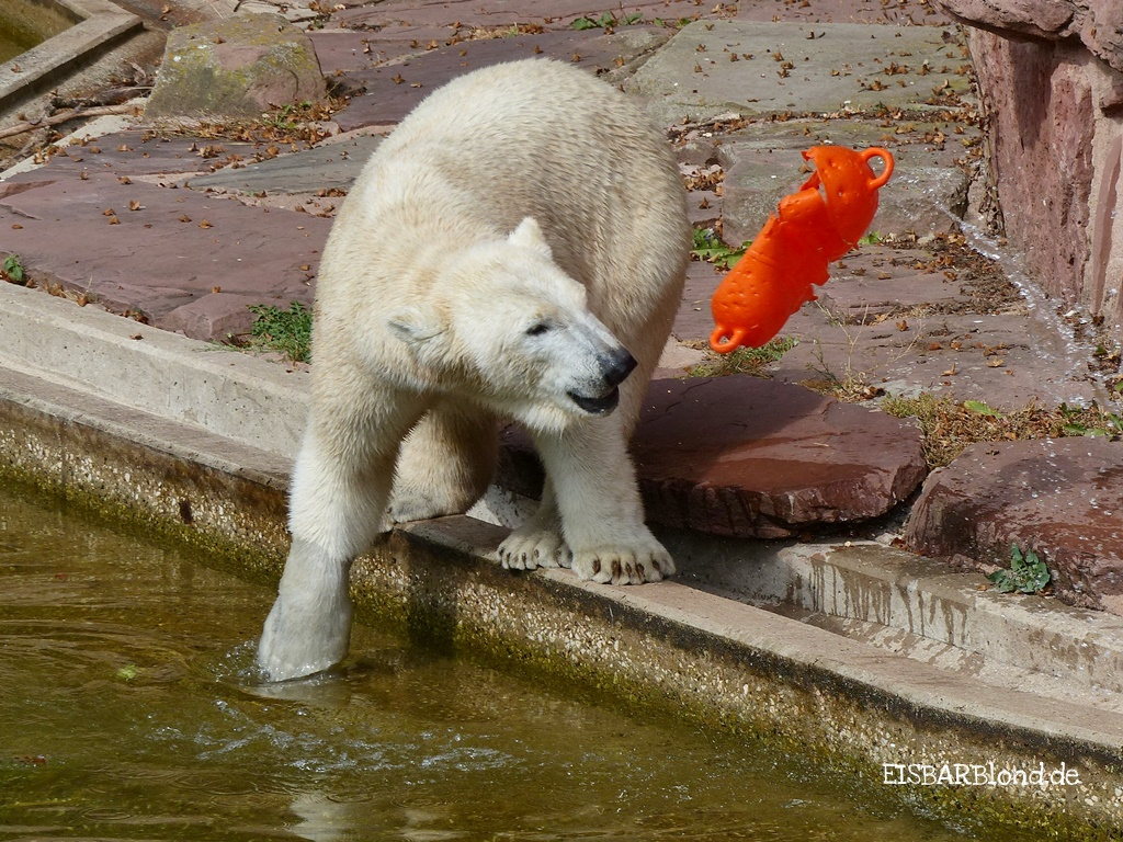 Allerlei mit Eisbärin Charlotte aus dem Tiergarten Nürnberg - 09/16