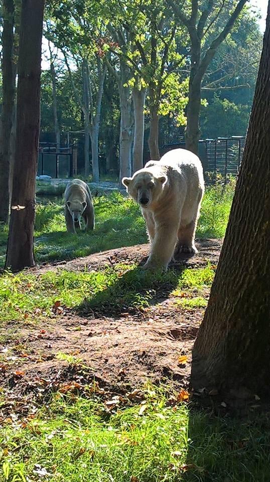 AquaZoo Friesland/NL - Felix und Nanu die Eisbären - 09/2016
