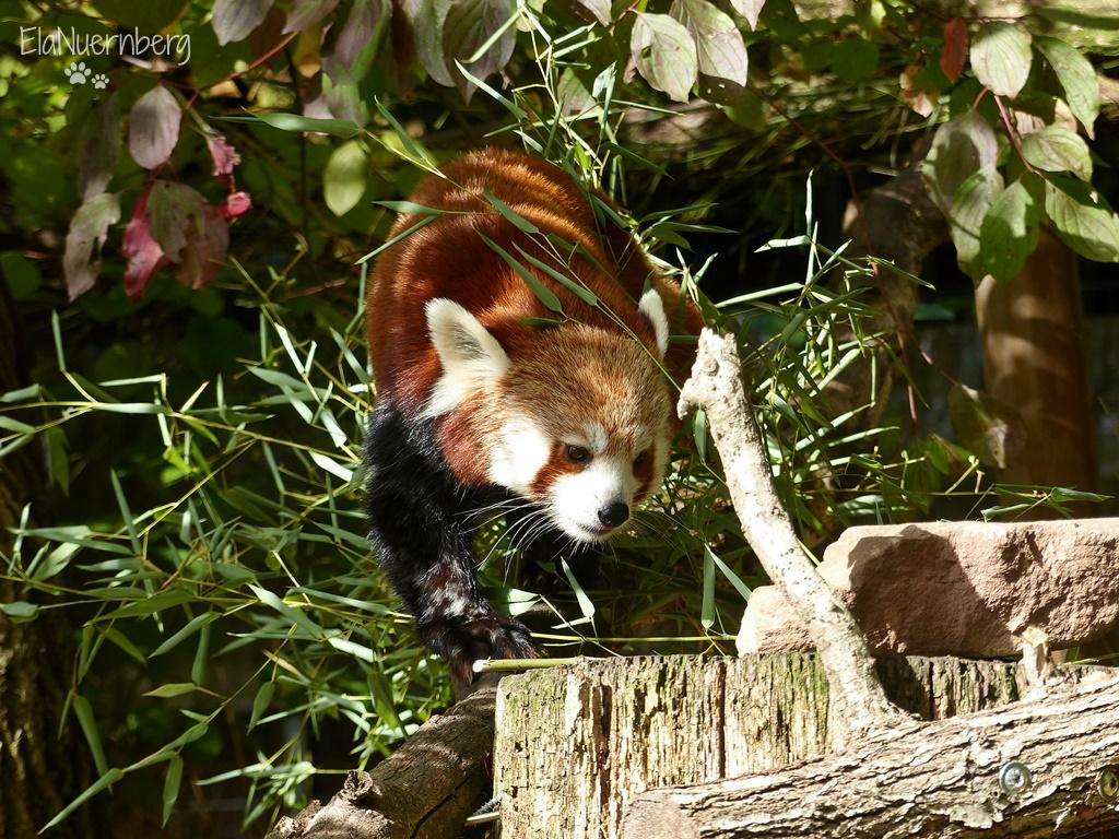Tierischer Mischmasch - Roter Panda LILLY - Tiergarten Nürnberg - 10/2016