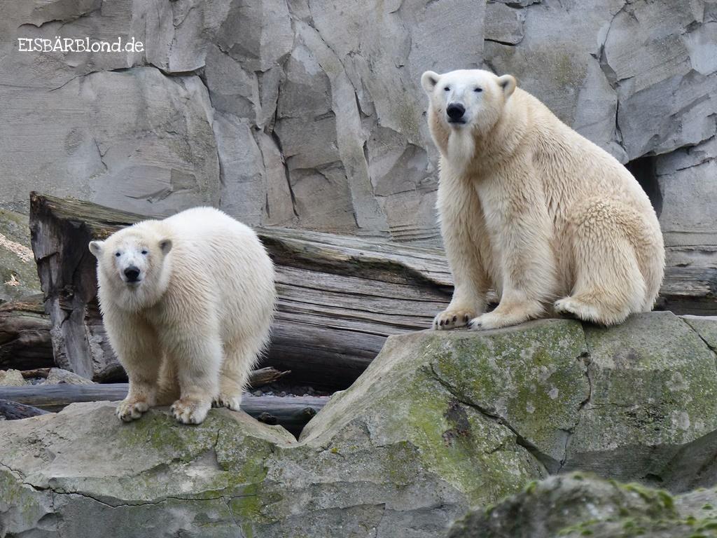 Spontantrip - Eisbär LILI + Eisbär VALESKA - Zoo am Meer - 15.12.2016