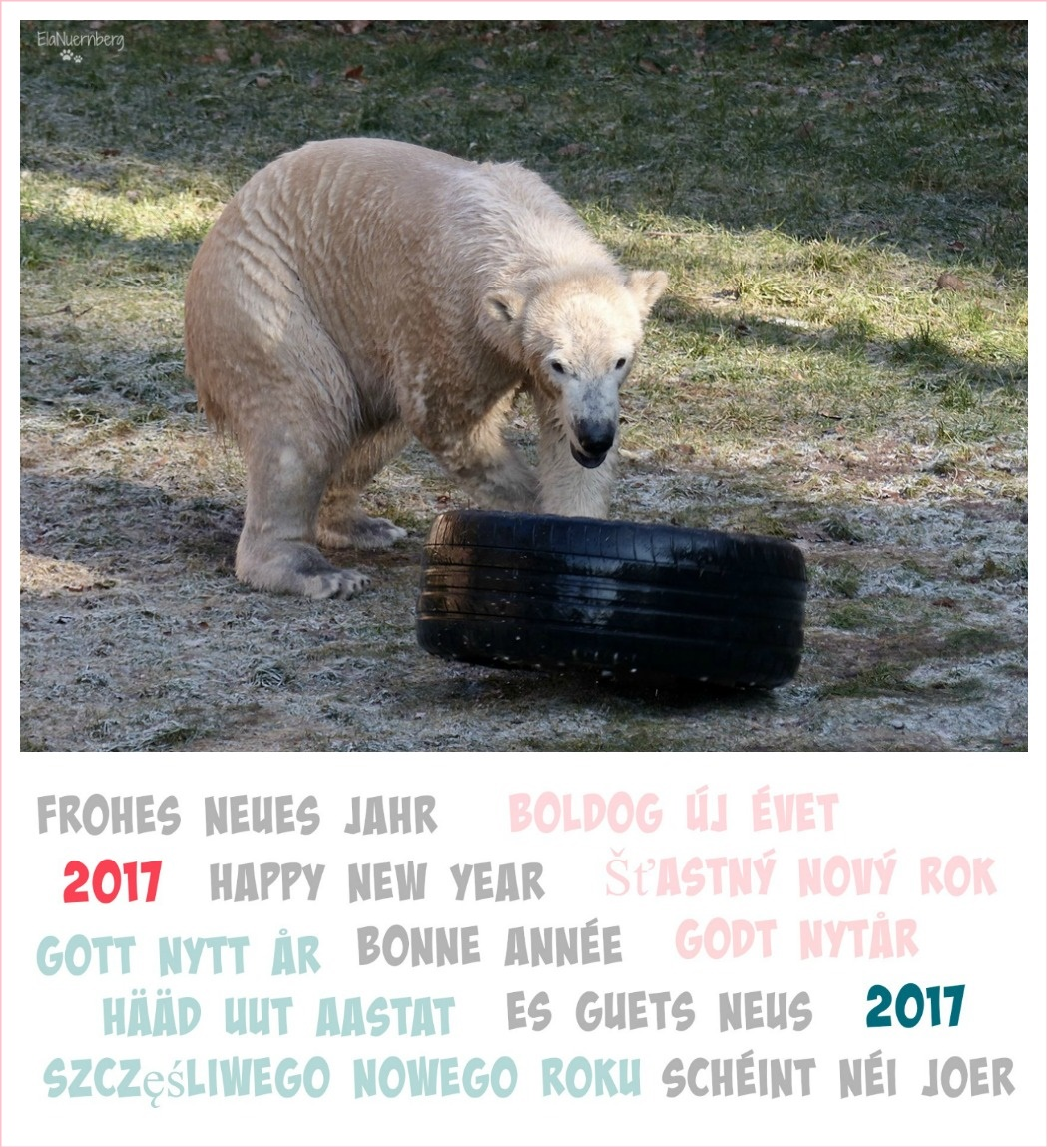 Bäriges Neues Jahr - Eisbär Charlotte mit Reifen im Tiergarten Nürnberg