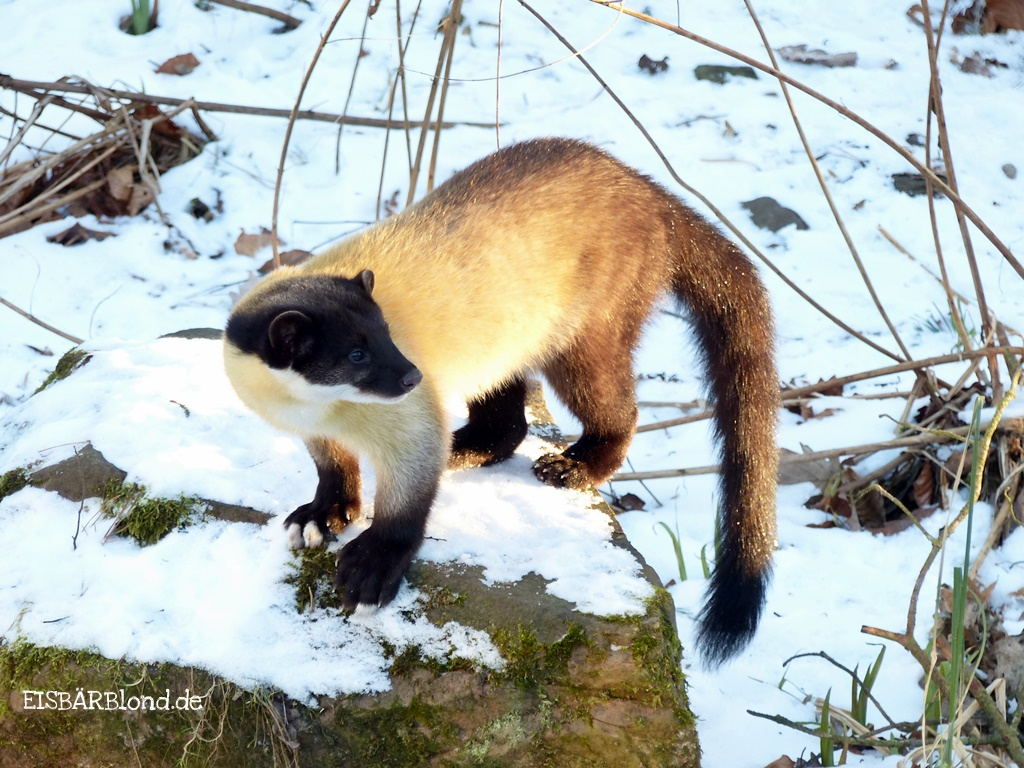 ALDAN der Buntmarder im Tiergarten Nürnberg im Schnee - 01/2017