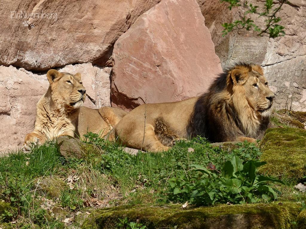 Tierischer Mischmasch - Keera und Thar die Asiatischen Löwen im Tiergarten Nürnberg