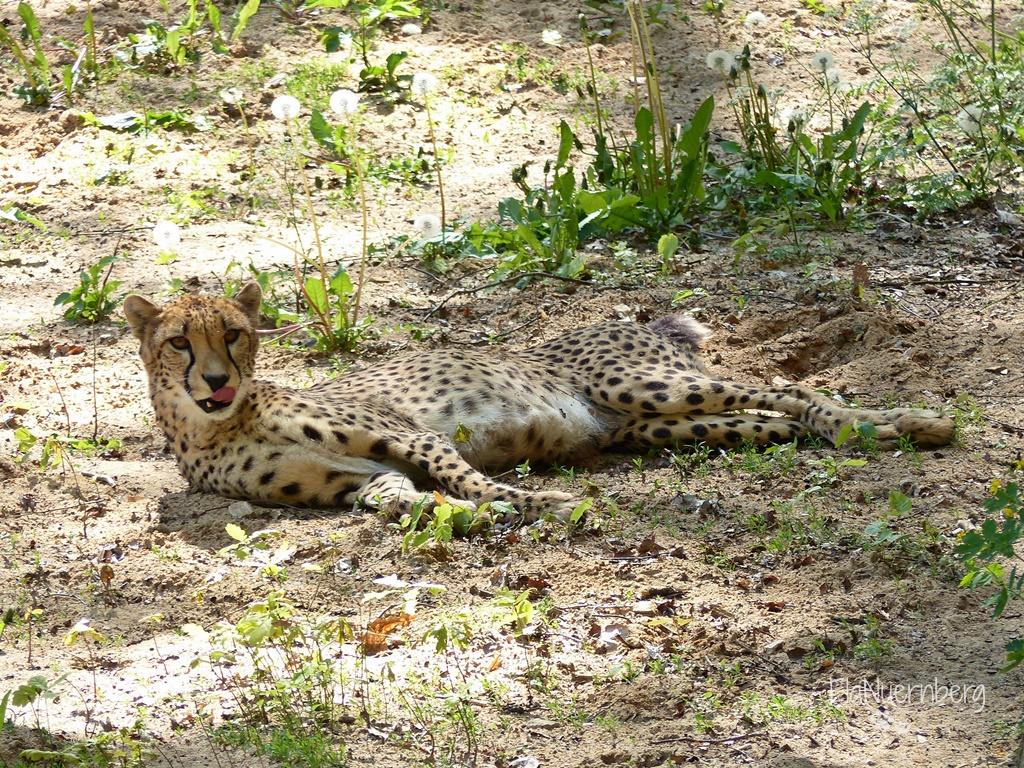 Tierischer Mischmasch - Gepardin im Tiergarten Nürnberg - 05/2017