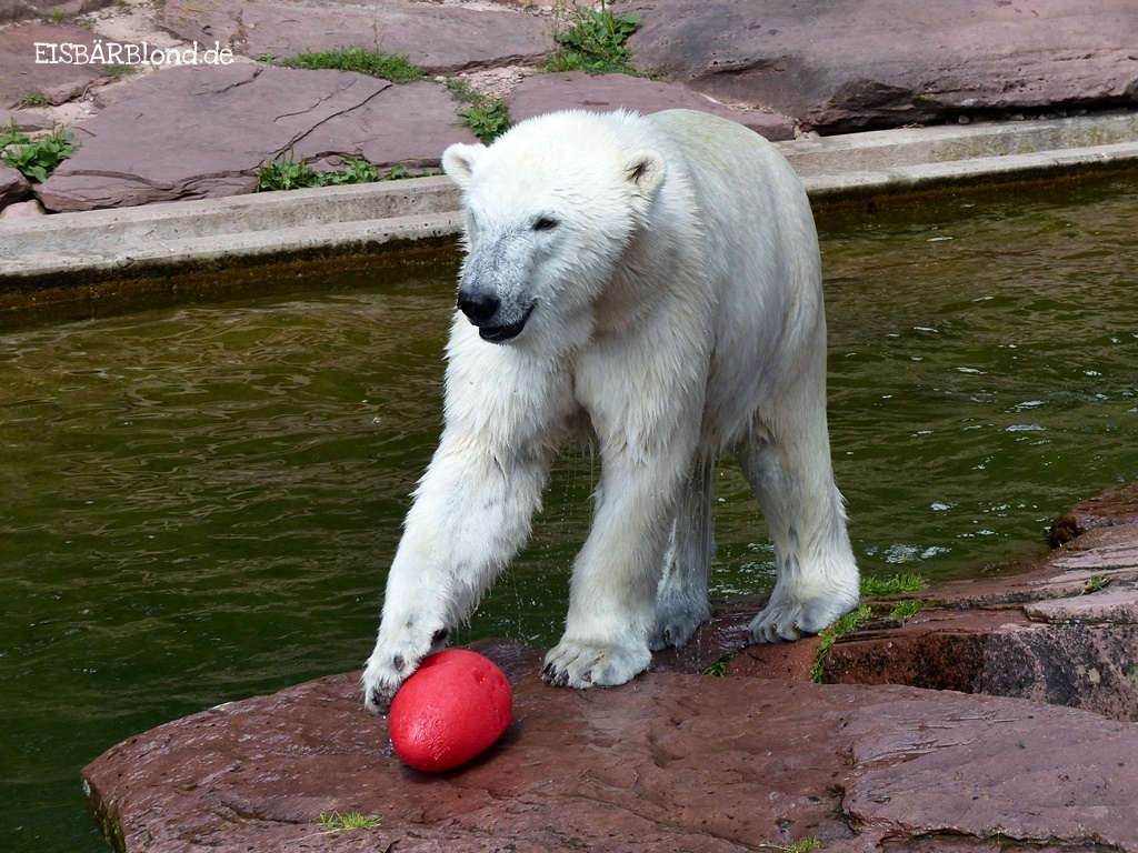Schalodde, Tscharlett & Karlotta - Eisbärin Charlotte im Tiergarten Nürnberg mit roten crazy egg - 07/2017