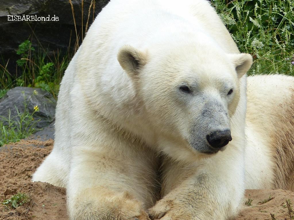 Eisbär-NANUQ-Zoo-Hannover-12.07.2017