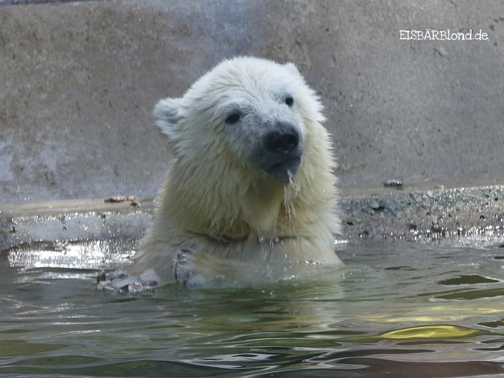 Eisbär Quintana im TP Hellabrunn. Dort wohnt auch Mama Giovanna.
