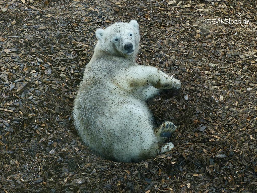 Eisbär Quintana in den Holzhackschnitzel im Tierpark Hellabrunn