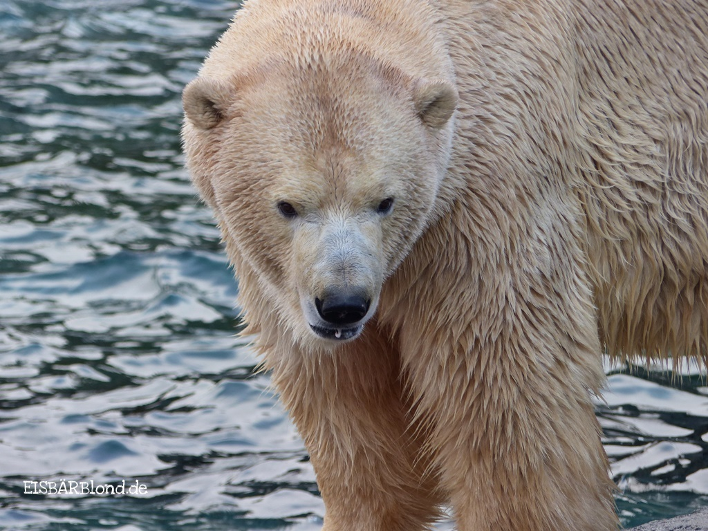 Eisbär SPRINTER - Erlebnis-Zoo Hannover - 07.12.2017