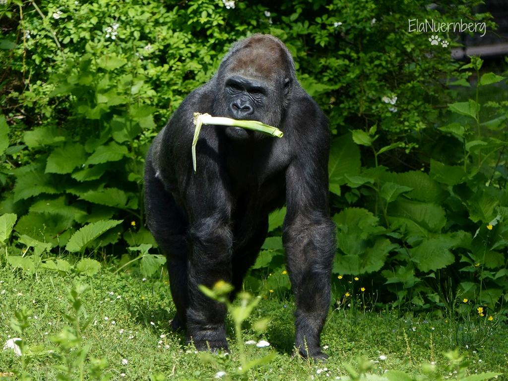 Tierischer Mschmsach - Gorilla LENA - Tiergarten Nürnberg - 06/2017