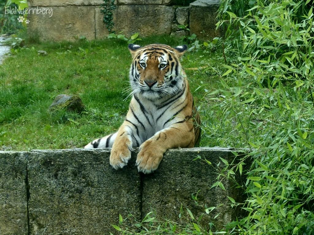 tiger-aljoscha-018-20170712-zoo-hannover
