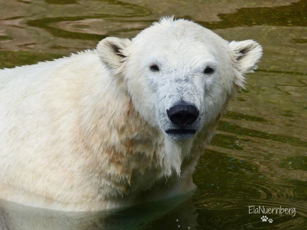 Immer wieder Sonntags - Eisbärin Charlotte im Tiergarten Nürnberg - 08/2017/Info Karlsruhe