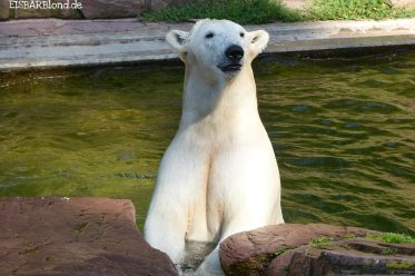 Warten auf das Frühstückchen - Eisbär Charlotte im Tiergarten Nürnberg
