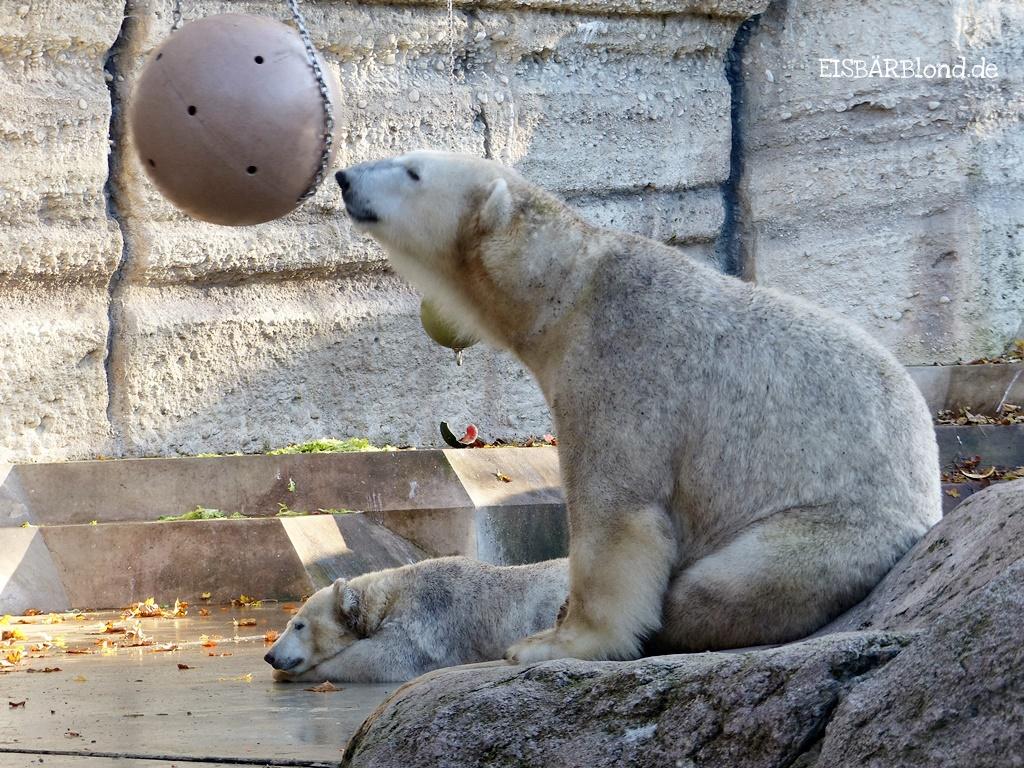 Servus Minga! Eisbär Giovanna und Eisbär Quintana auf ihrer Anlage