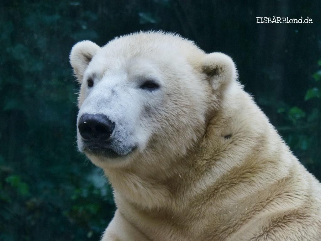 Tach Wuppertal! - Eisbär LUKA - Zoo Wuppertal - 15.11.2017