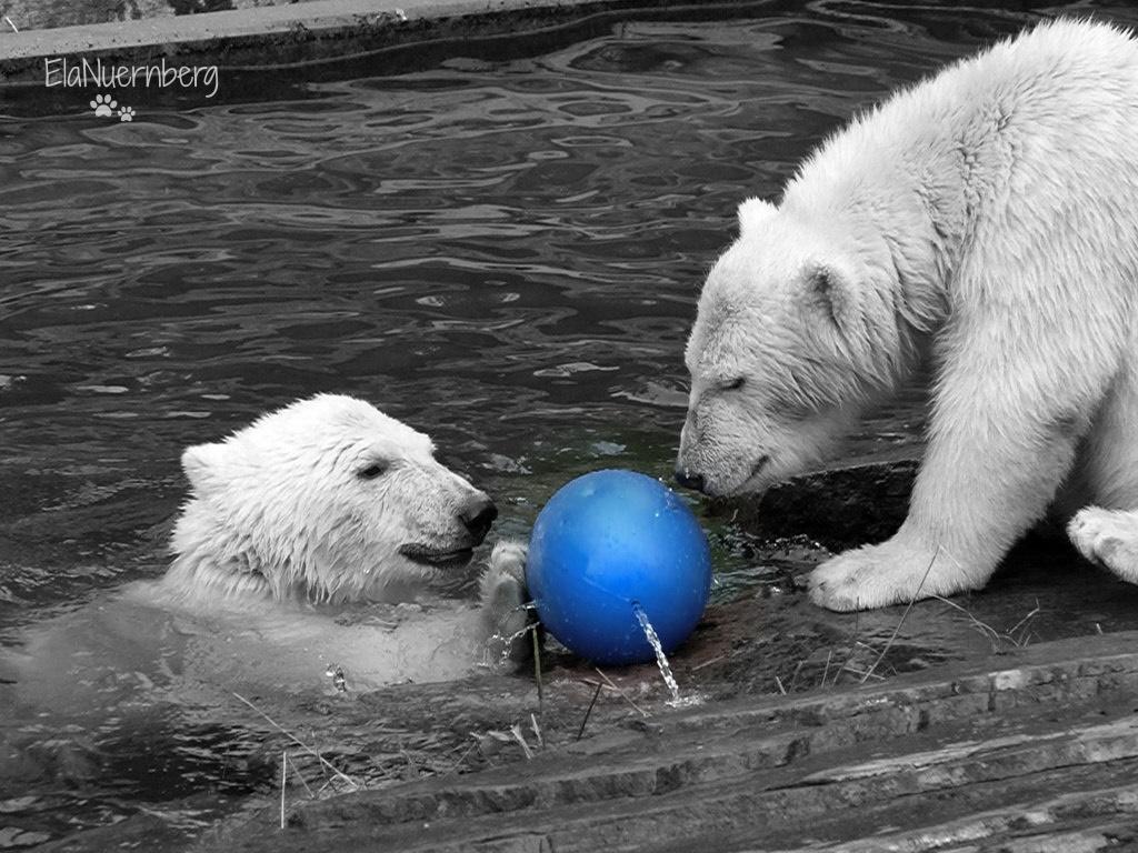 Hipp, Hipp, Hurra - Eisbären Gregor und Aleut - Tiergarten Nürnberg - 2011
