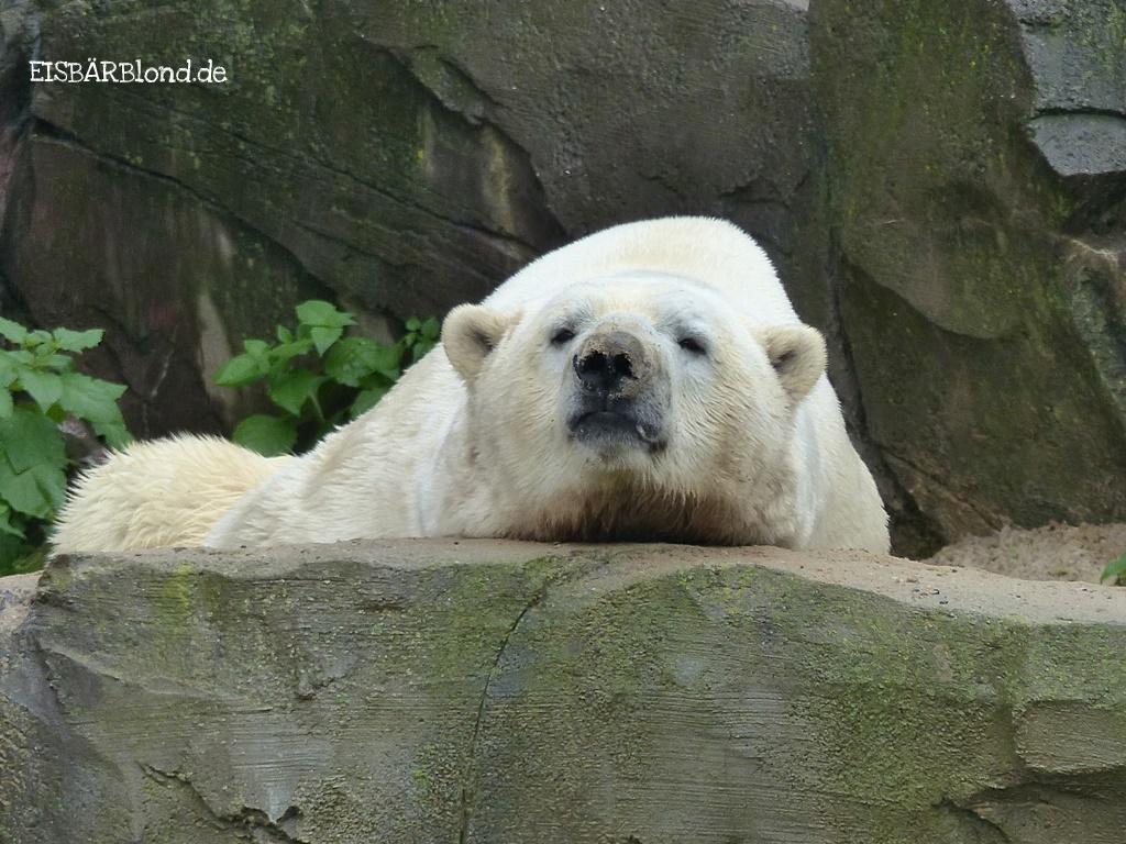 Hallo Hannover! - Eisbär Sprinter - Zoo Hannover - 12.07.2017
