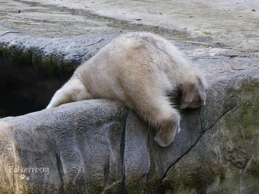 Eisbären Giovanna und Quintana- Hier Quintana im TP Hellabrunn - 01/2018