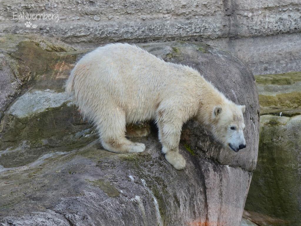 Eisbärin Quintana im Tierpark Hellabrunn München am 09.01.2018.