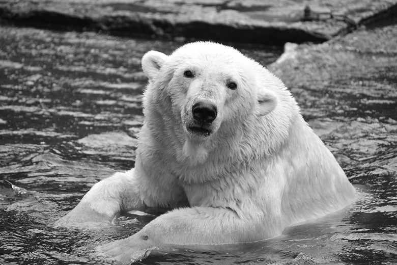 Leb wohl Vienna! - Eisbärin Vienna - Zoo Rostock - 2014