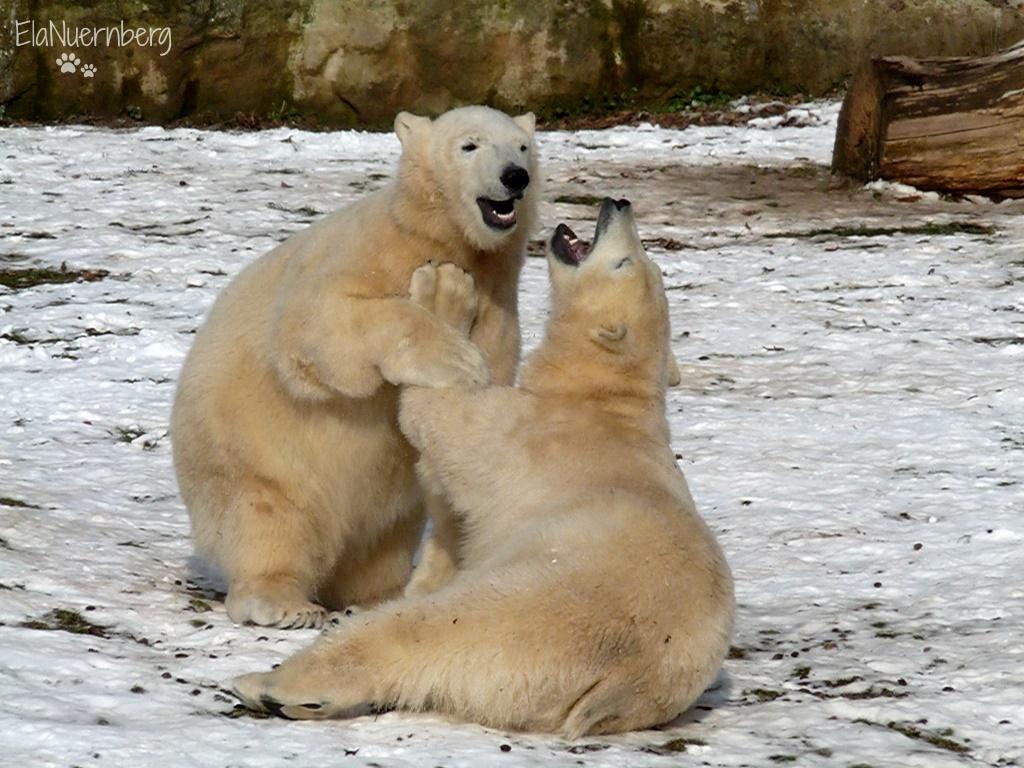 Kleine Eisbärengalerie - Eisbären Gregor und Aleut am 31.01.2012 im Tiergarten Nürnberg