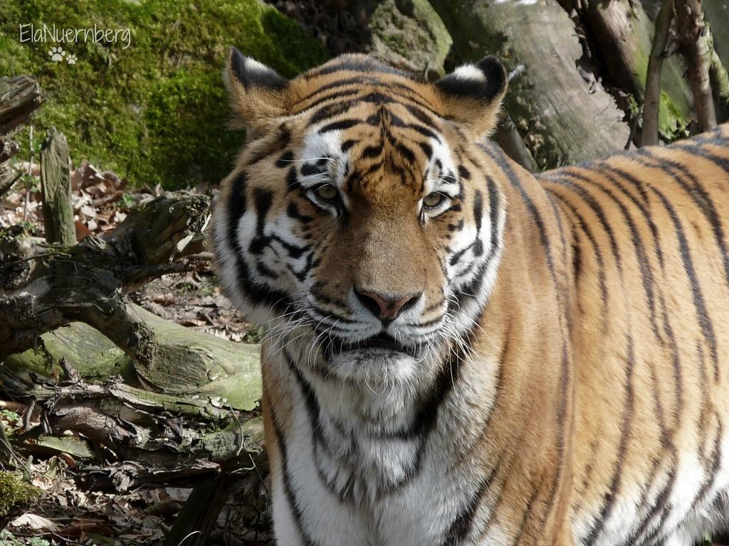 Machs gut Jantar! - Sibirscher Tiger - Tiergarten Nürnberg - 03/2012