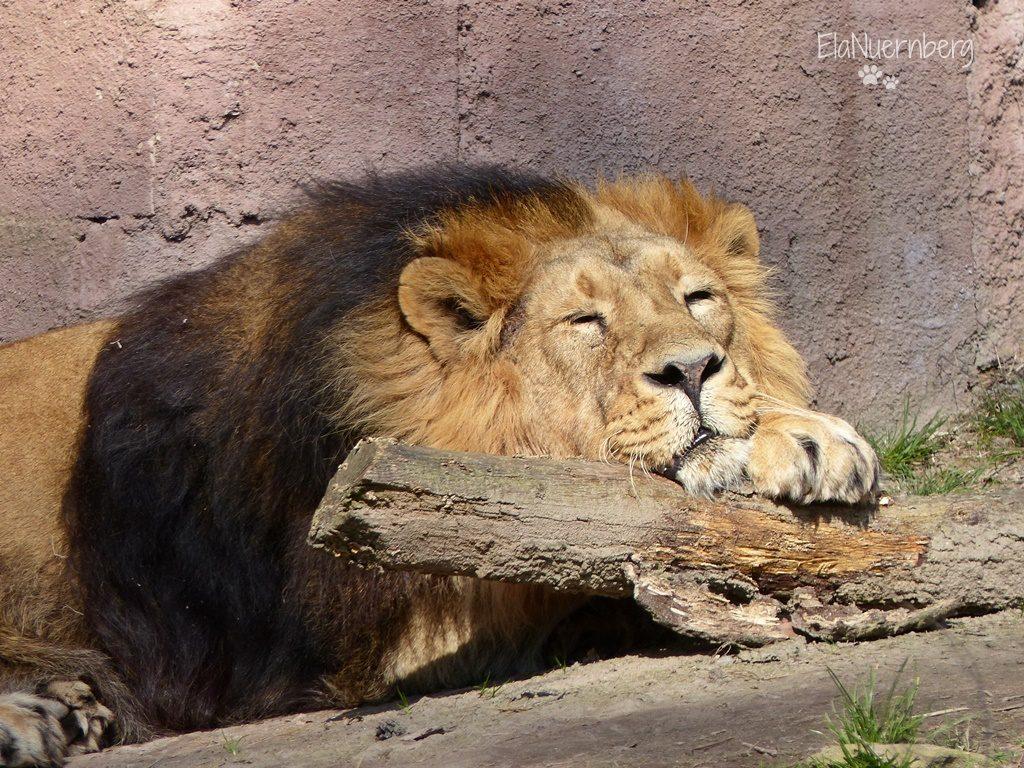 Asiatischer Löwe THAR - Tiergarten Nürnberg - 17.03.2016