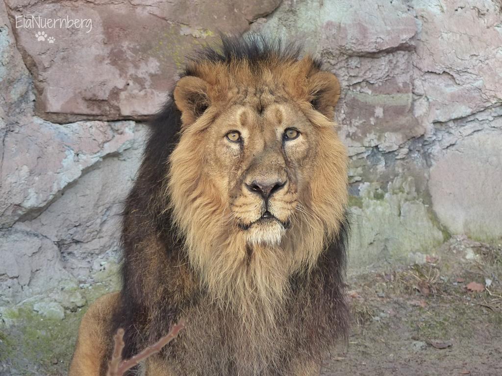 Ade Löwe Thar! - Asiatischer Löwe Thar - Tiergarten Nürnberg - 21.01.2018