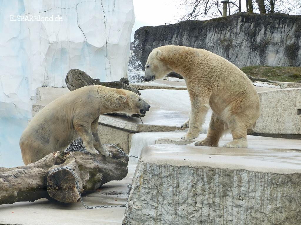 Salli Karlsruhe! - Eisbären Nika und Kap - Zoo Karlsruhe - 07.03.2018