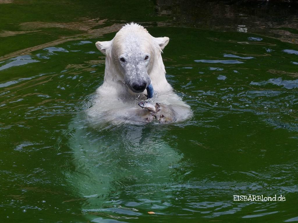 Eisbär Charlotte futtert Fisch im Tiergarten Nürnberg