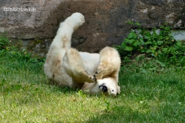 Eisbär Charlotte in der Wiese