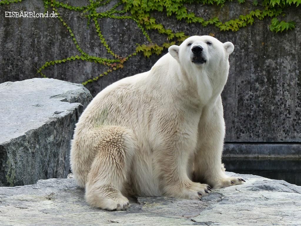 Eisbär Corinna auf der Insel.