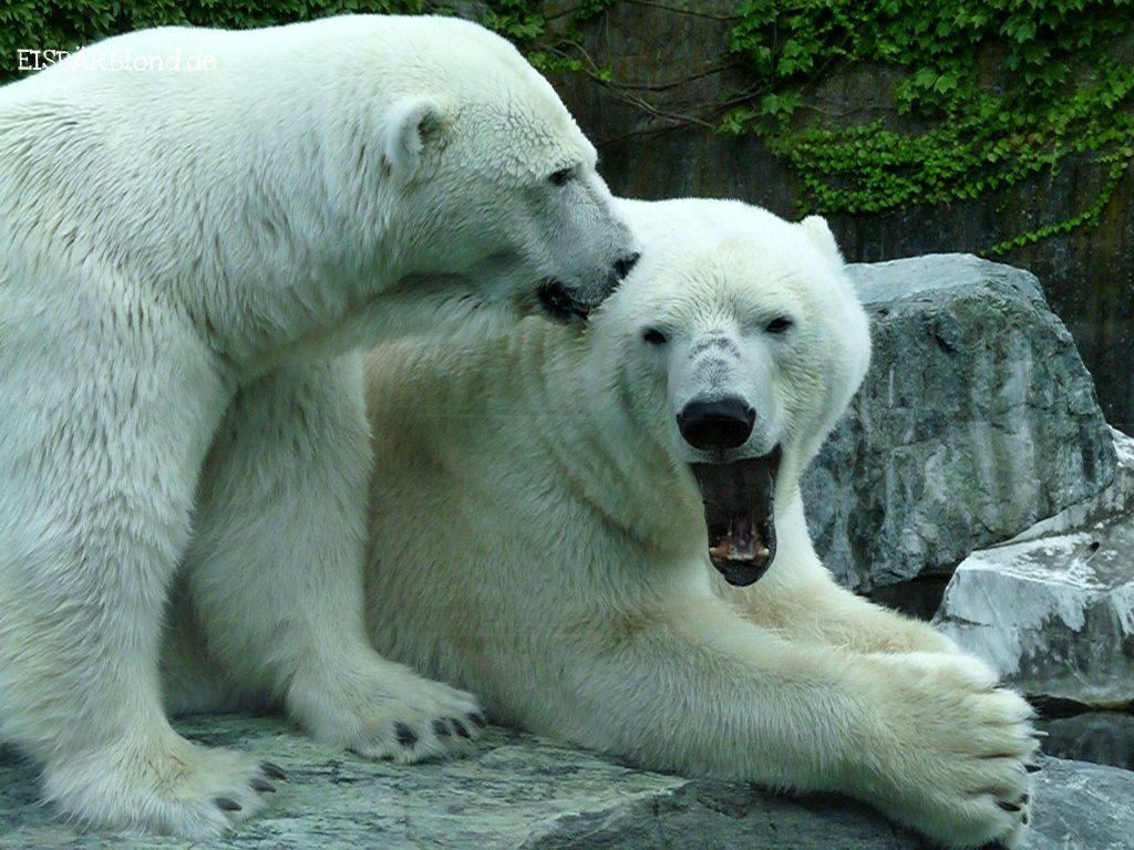 Eisbär Corinna knutscht Eisbär Anton