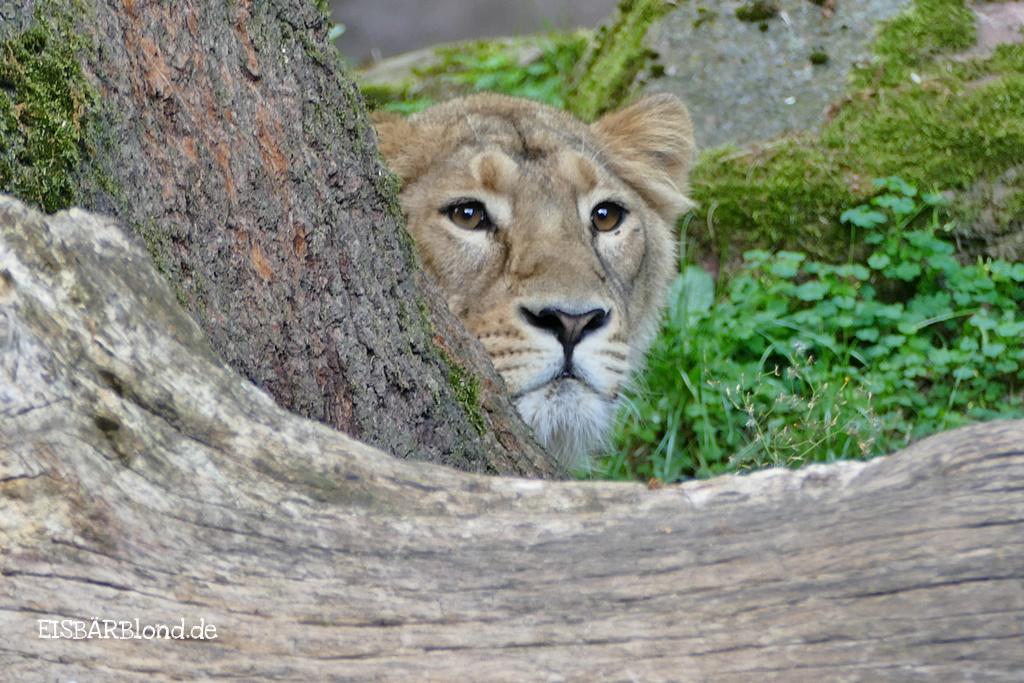 Tierischer Mischmasch - Löwin Aarany spitzt hinter dem Baum hervor