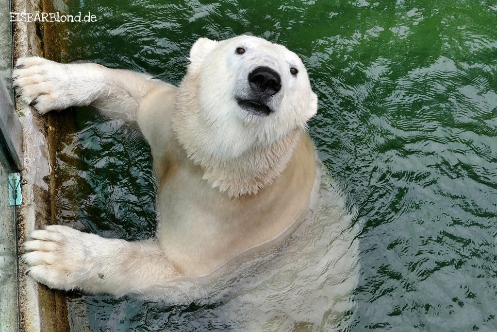 Ferien-Zeit - Eisbärin Charlotte schaut neugierig aus dem Wasser