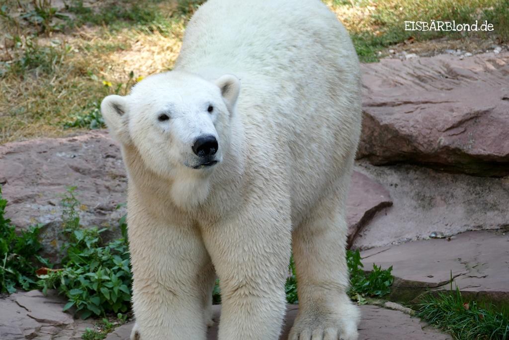 Mal wieder ein Bagger - Eisbär Charlotte im Tiergarten Nürnberg