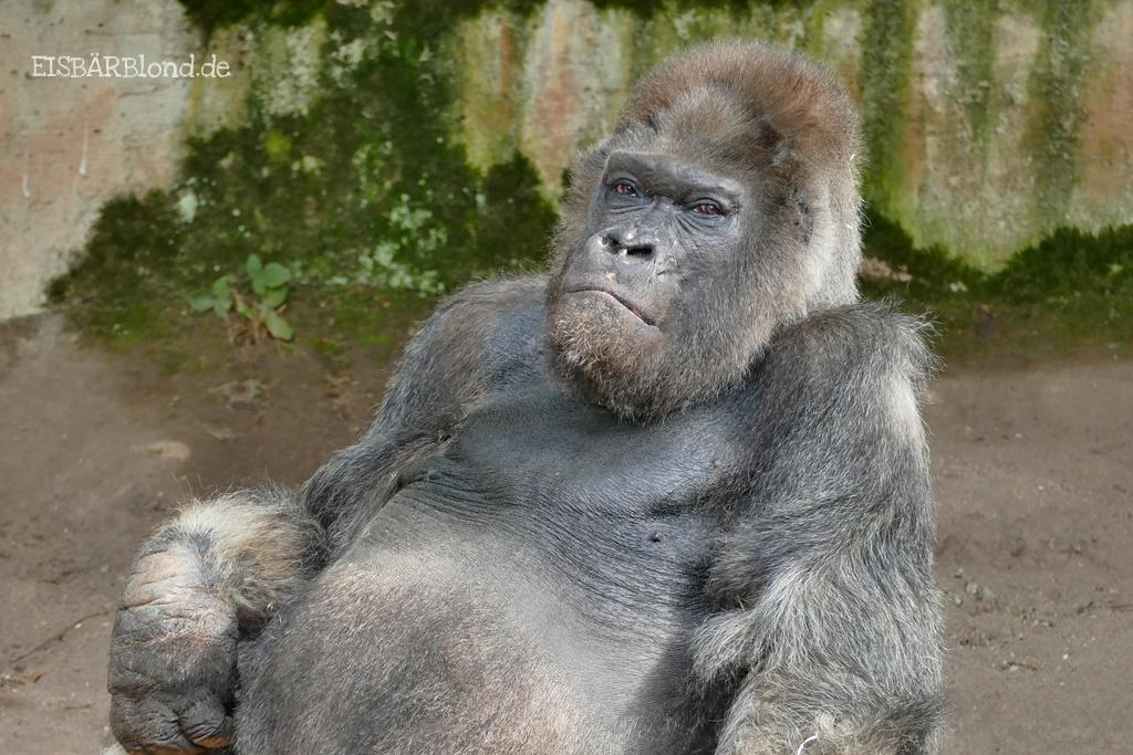 Gorilla Fritz auf der Außenanlage im Tiergarten Nürnberg