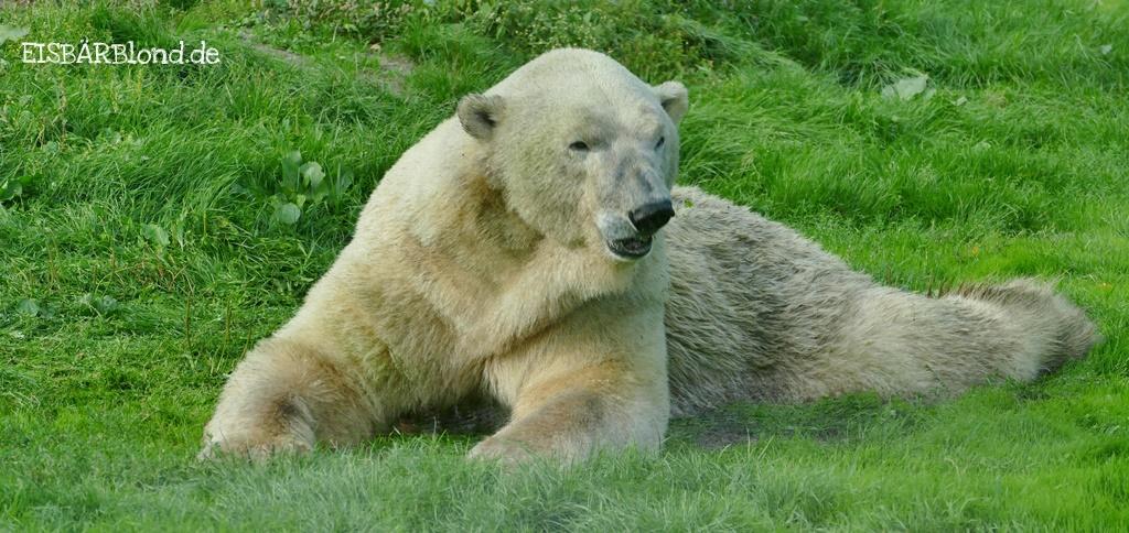 Charlottes Wir Anpfiff! - Eisbär Felix auf der grünen Wiese - AquaZoo Friesland